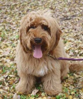 Acadian Labradoodles Bayou - Guardian Program dog