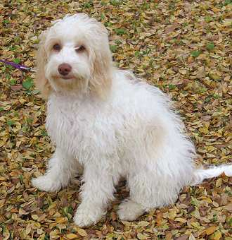 Acadian Labradoodles River - Guardian Program dog